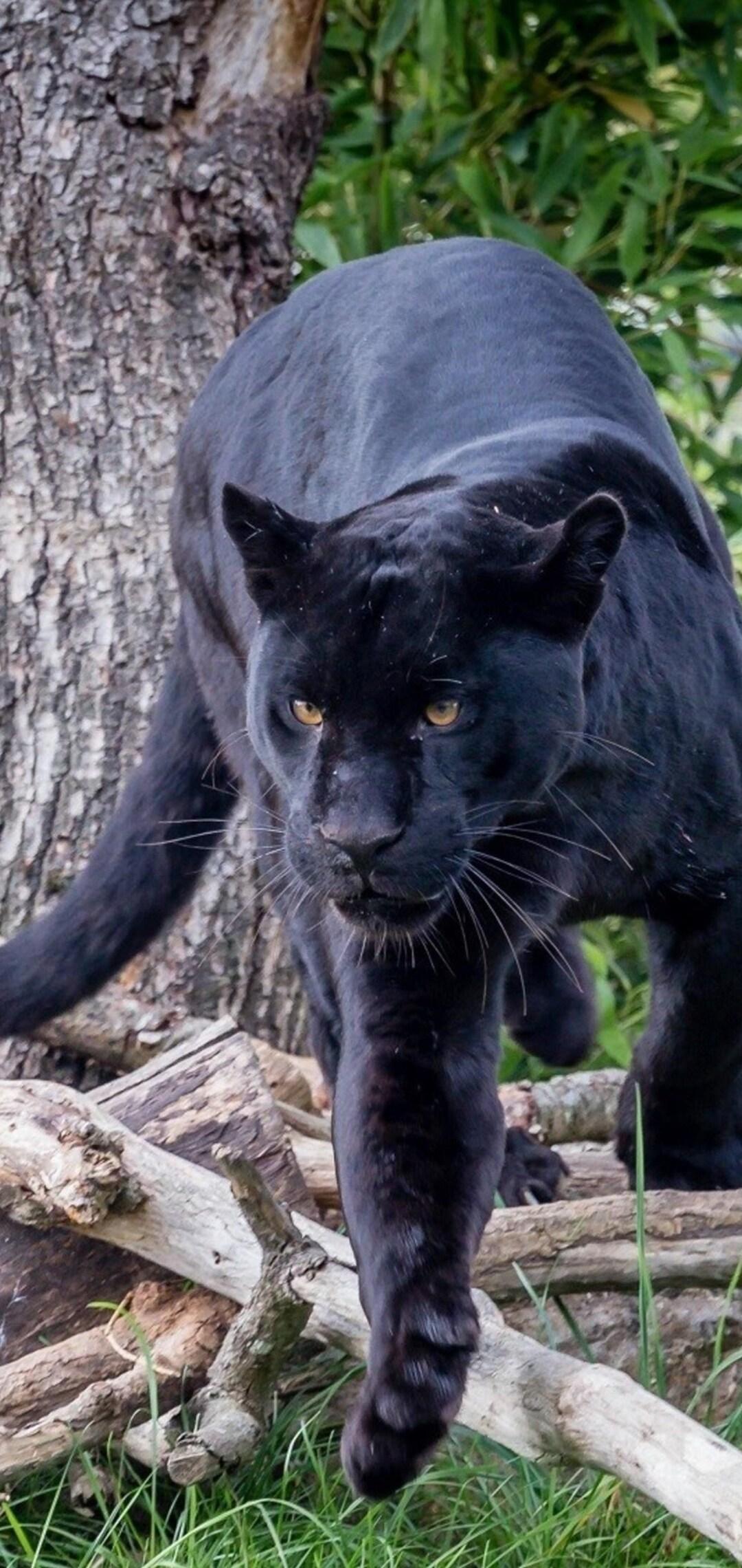 black-panther-hd.jpg
