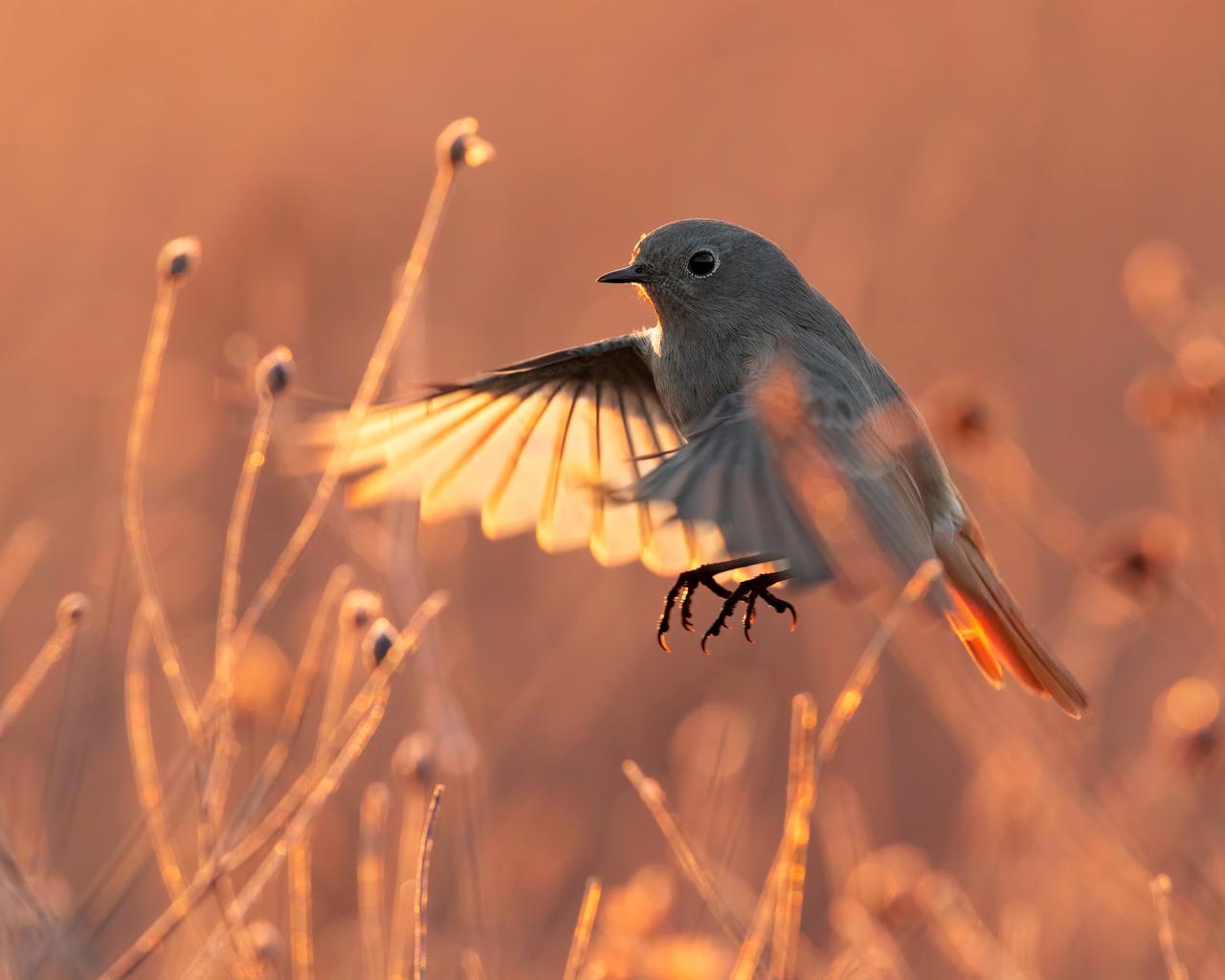 black-redstart-bird-7c.jpg
