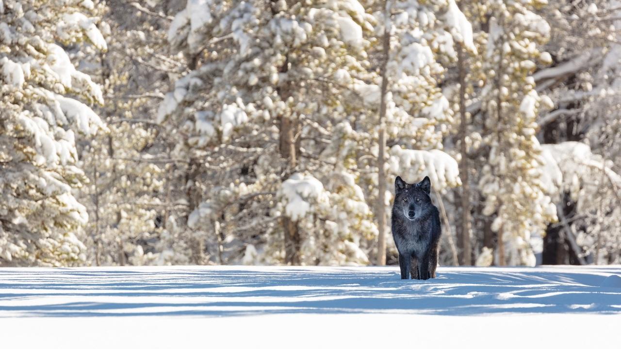 black-wolf-q4.jpg