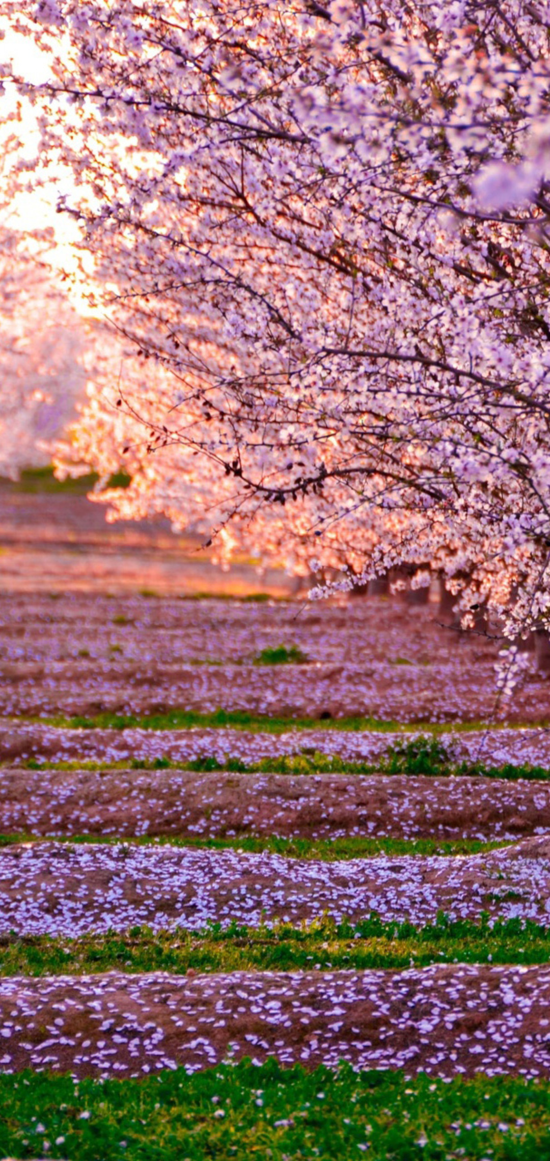 1080x2280 Blossom Nature Pink Flowers Trees One Plus 6huawei P20