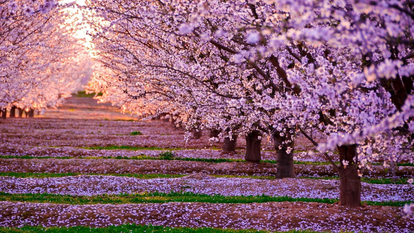 1600x900 blossom nature pink flowers trees 1600x900 resolution hd 4k blossom nature pink flowers trees dog mightylinksfo