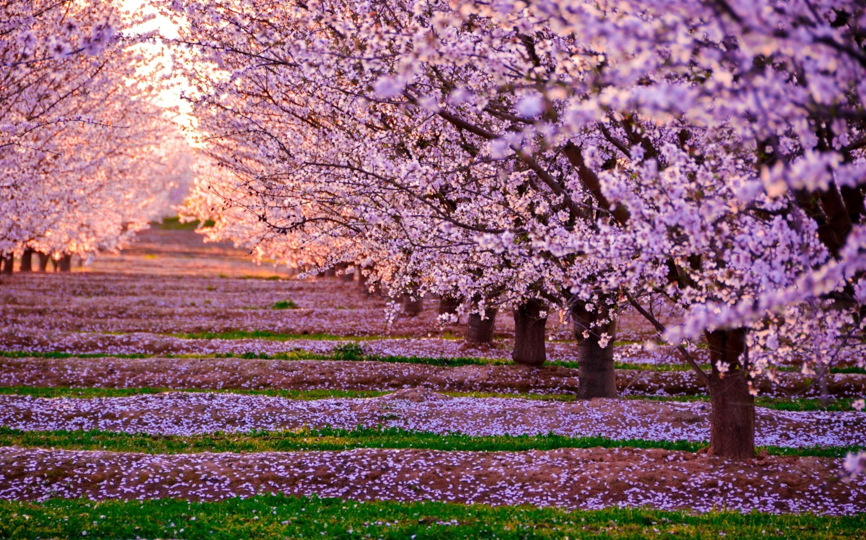 2880x1800 blossom nature pink flowers trees macbook pro retina hd 4k blossom nature pink flowers trees dog mightylinksfo