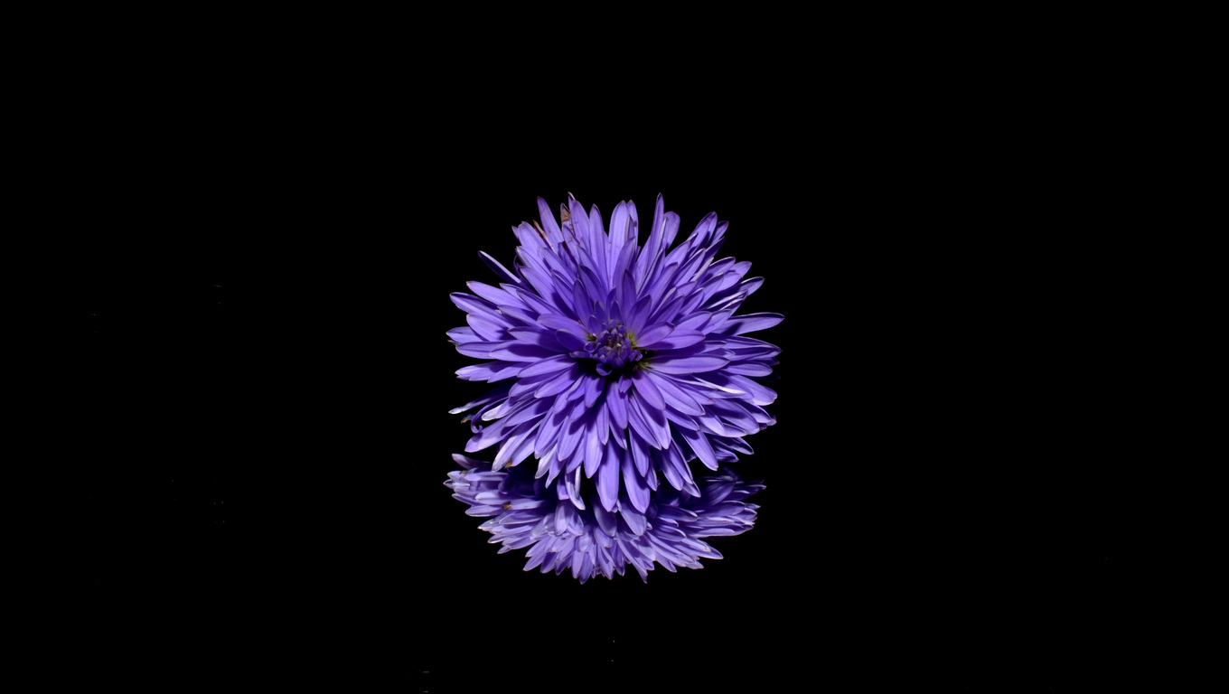 1360x768 Blossom Purple Flower Black Background Reflection Laptop Hd Hd 4k Wallpapers Images Backgrounds Photos And Pictures