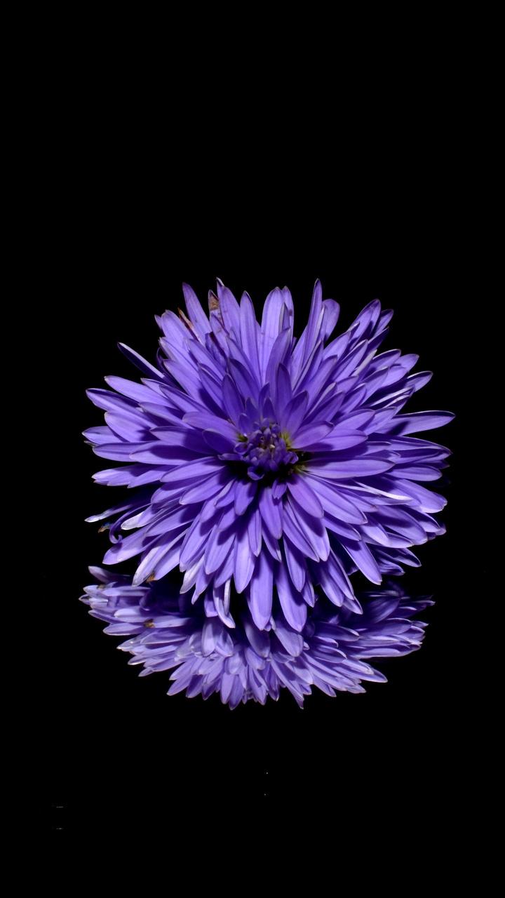 blossom-purple-flower-black-background-reflection-7r.jpg