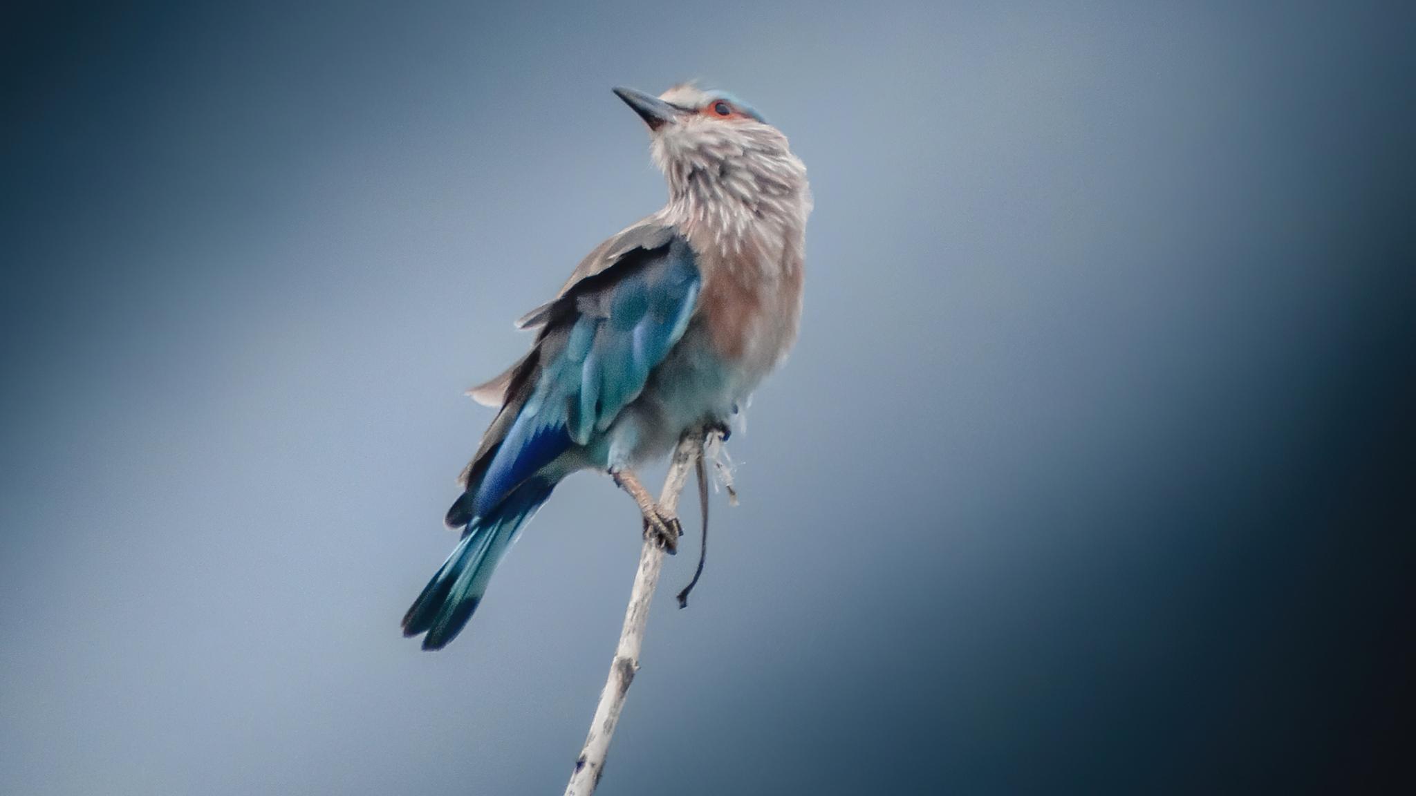 blue-and-brown-bird-on-tree-4k-bw.jpg