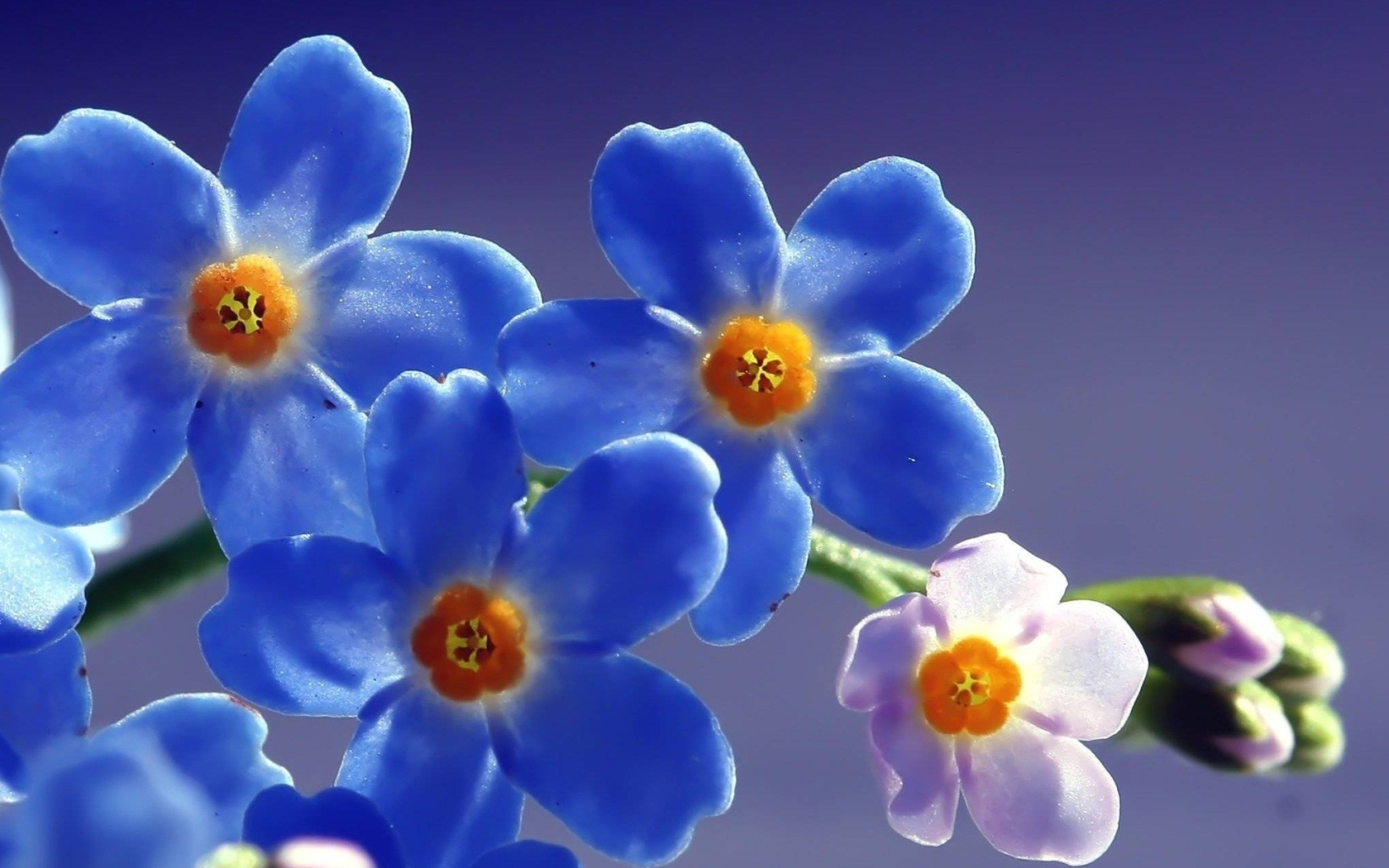 1680x1050 Blue Beautiful Flowers 1680x1050 Resolution Hd 4k
