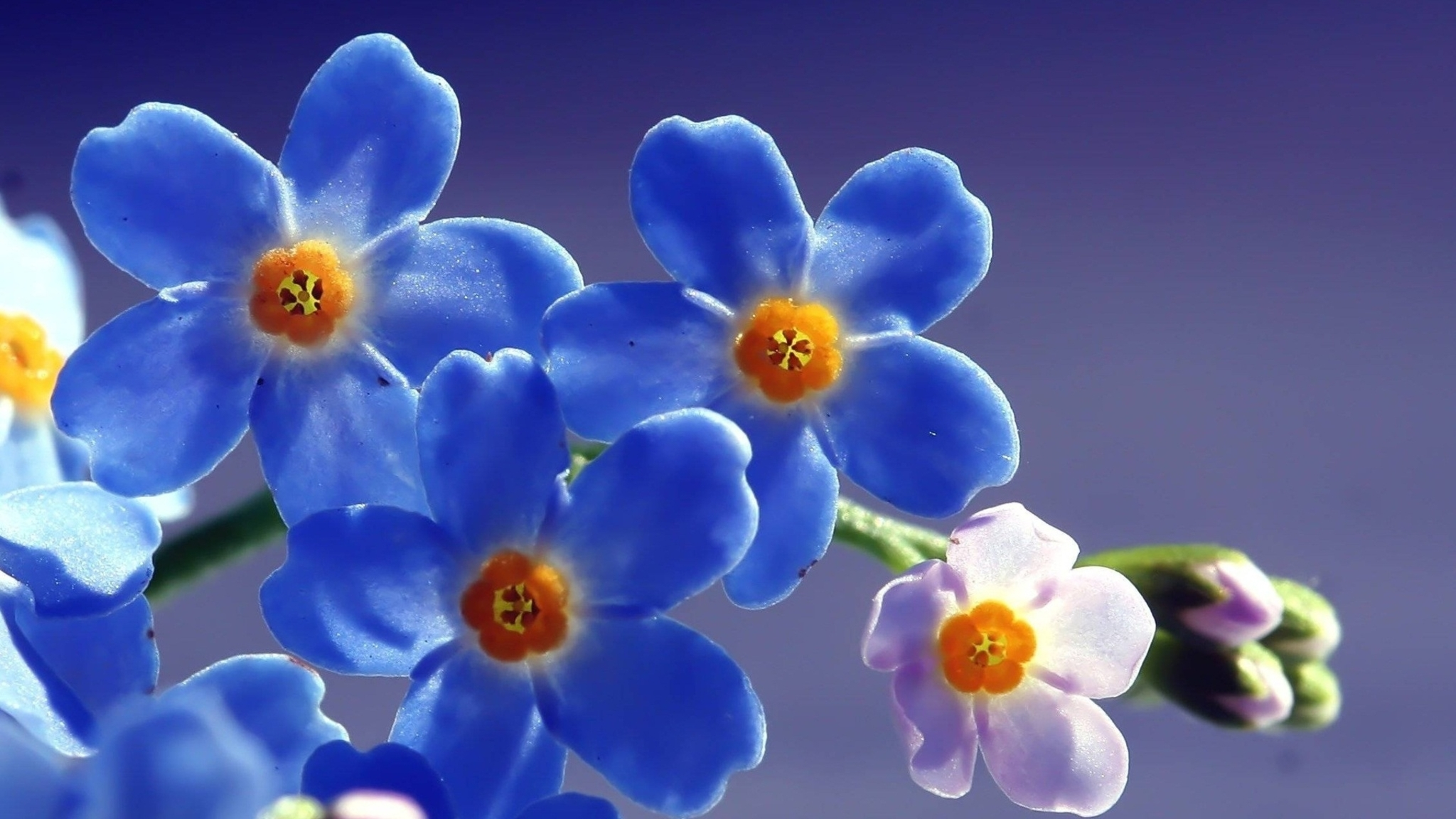 2048x1152 Blue Beautiful Flowers 2048x1152 Resolution Hd 4k