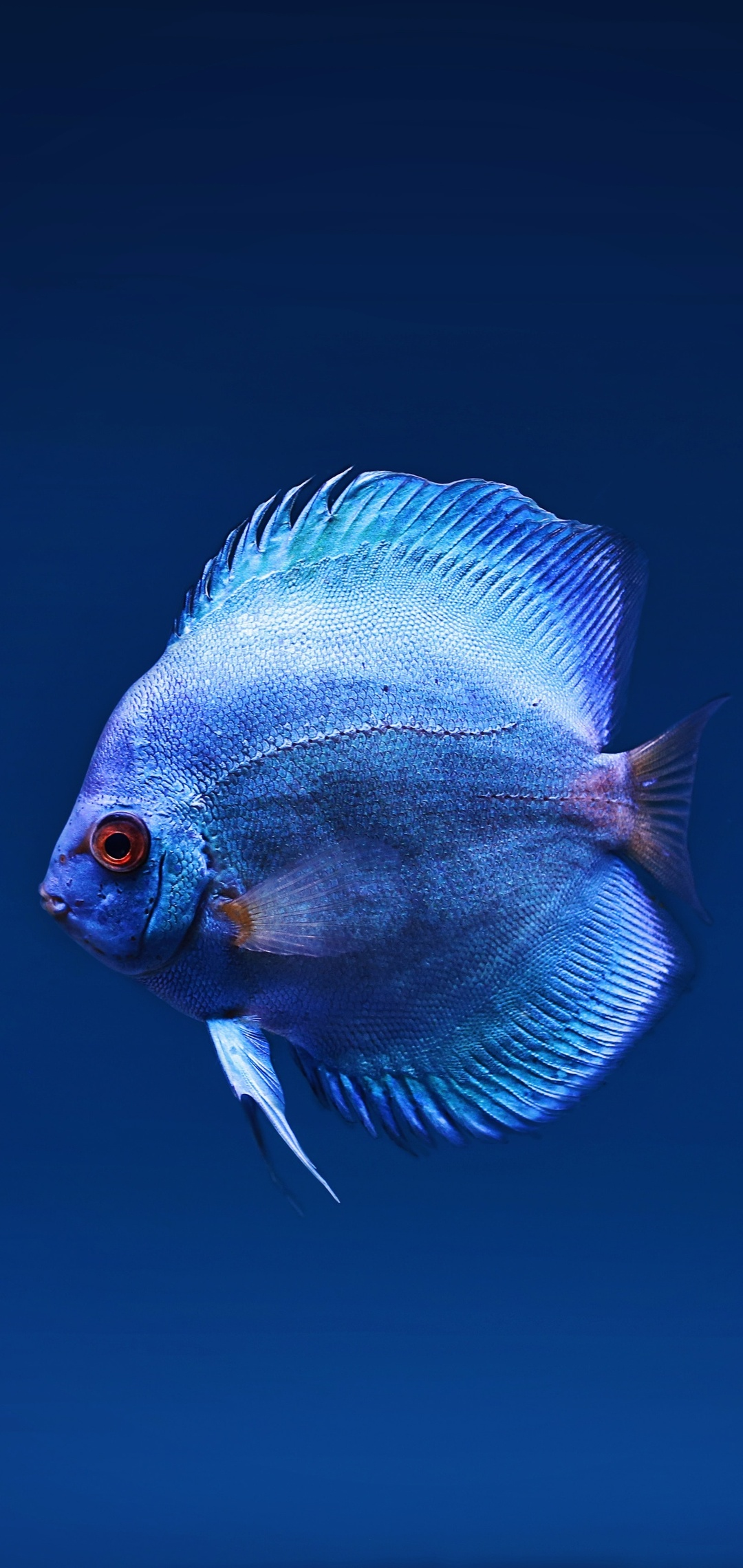 blue-discus-fish-x8.jpg