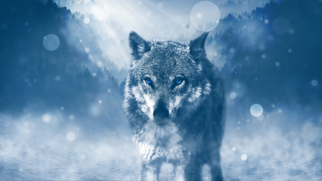 1366x768 Blue Eyed Wolf 1366x768 Resolution Hd 4k Wallpapers Images Backgrounds Photos And Pictures