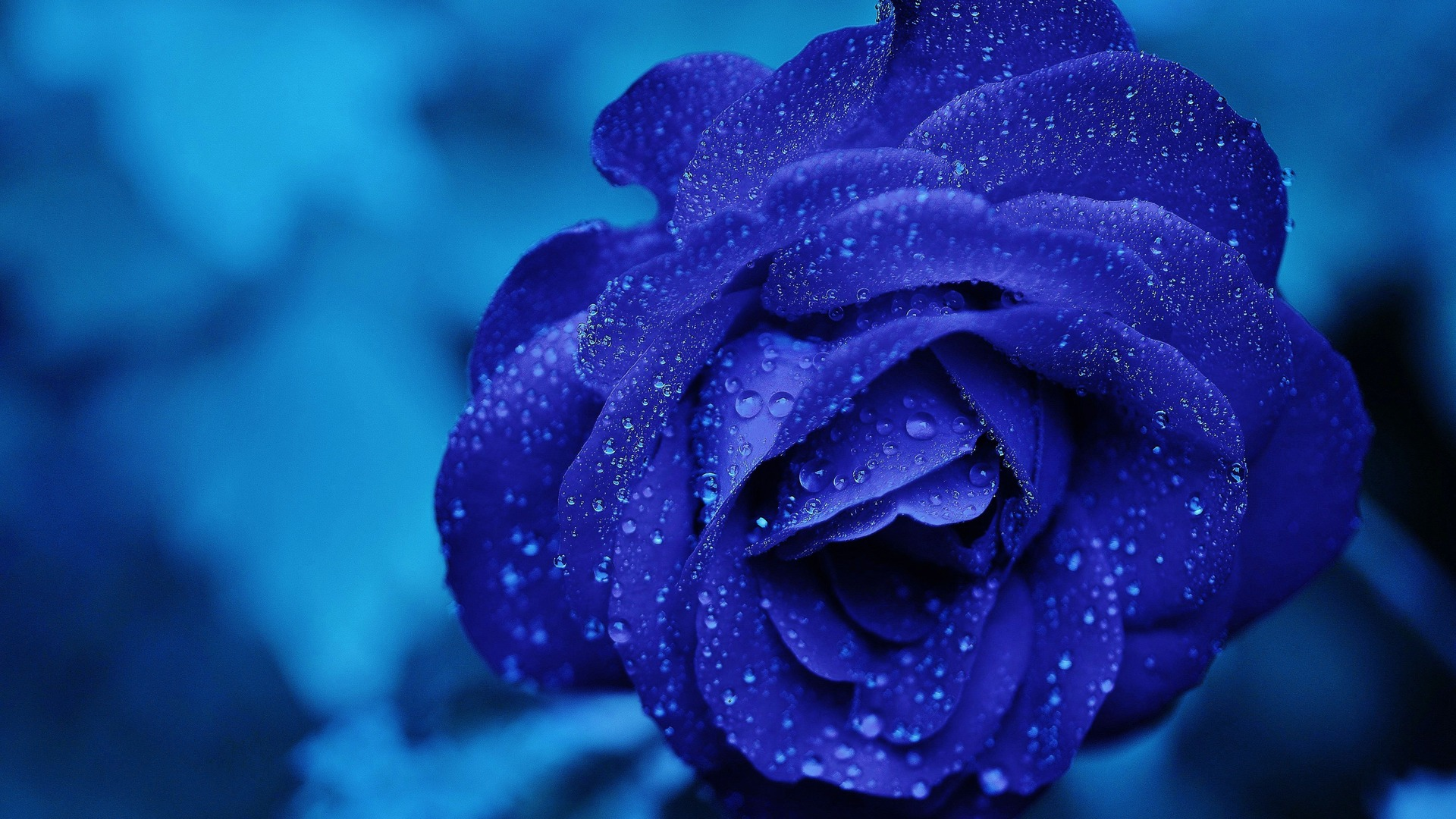 1920x1080 Blue Rose 4k Laptop Full Hd 1080p Hd 4k Wallpapers Images Backgrounds Photos And Pictures