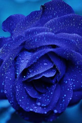 blue-rose-4k-je.jpg