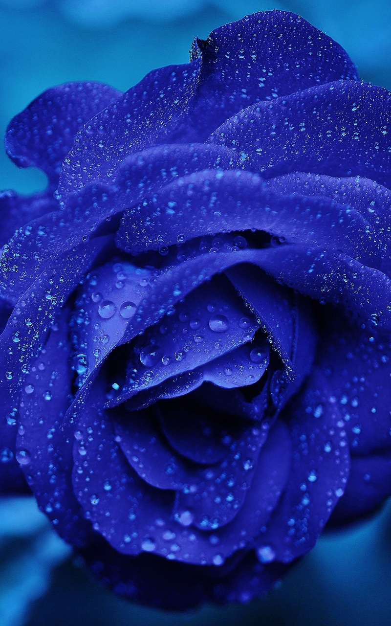 800x1280 Blue Rose 4k Nexus 7 Samsung Galaxy Tab 10 Note Android Tablets Hd 4k Wallpapers Images Backgrounds Photos And Pictures