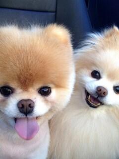 boo-dog-breed-4k.jpg