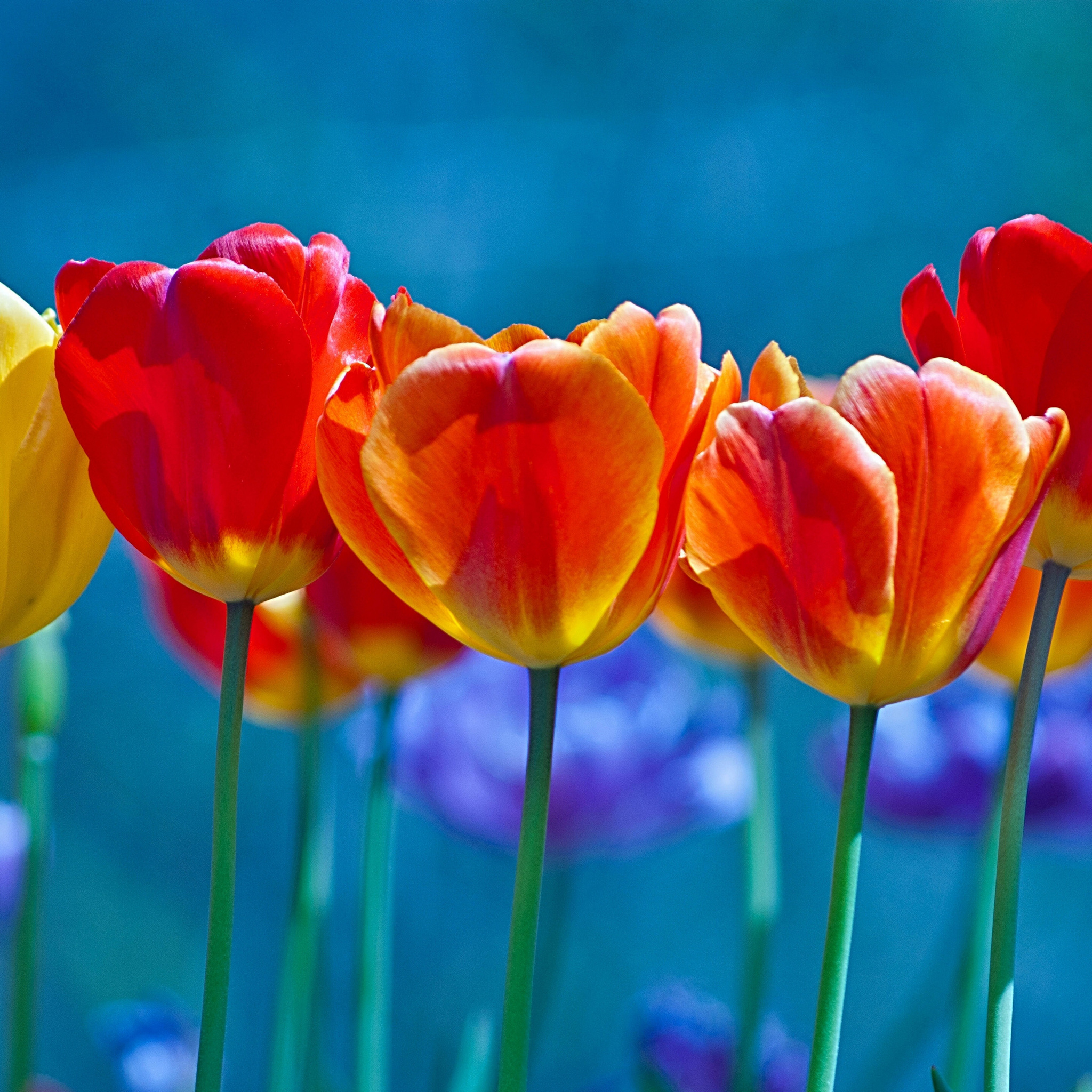 brightly-colored-tulips-mt.jpg