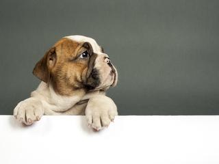 bulldog-puppy-4k-xn.jpg