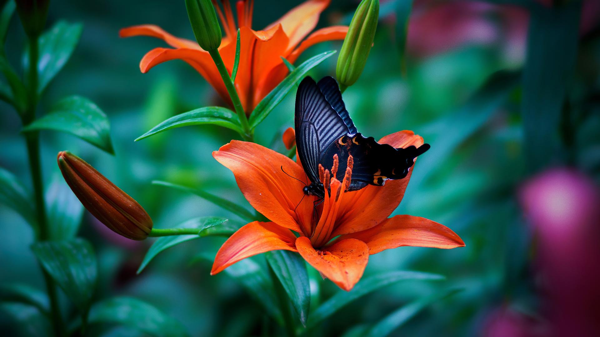 1920x1080 Butterfly Macro 4k Laptop Full HD 1080P HD 4k ...