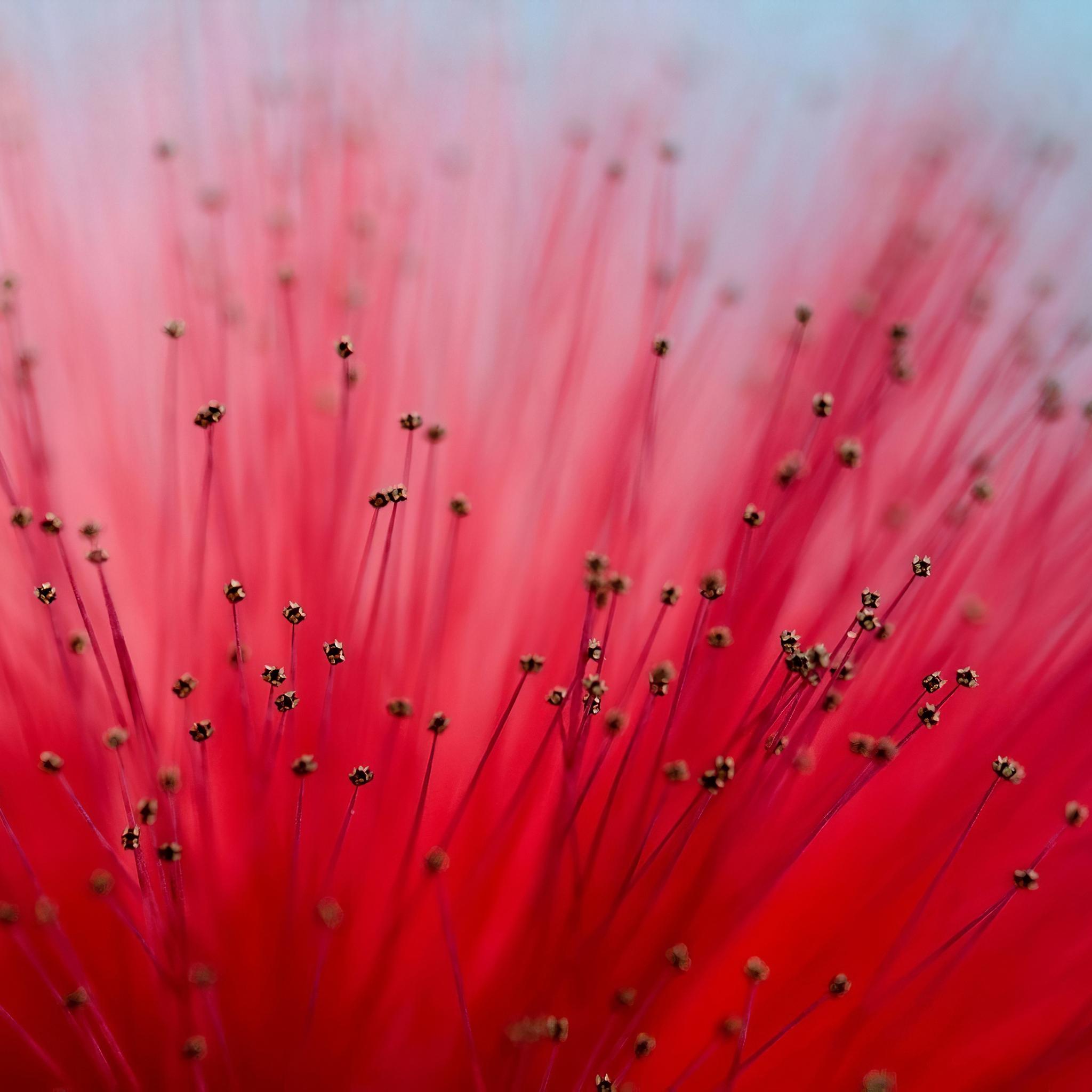 calliandra-flowers-4k-6z.jpg
