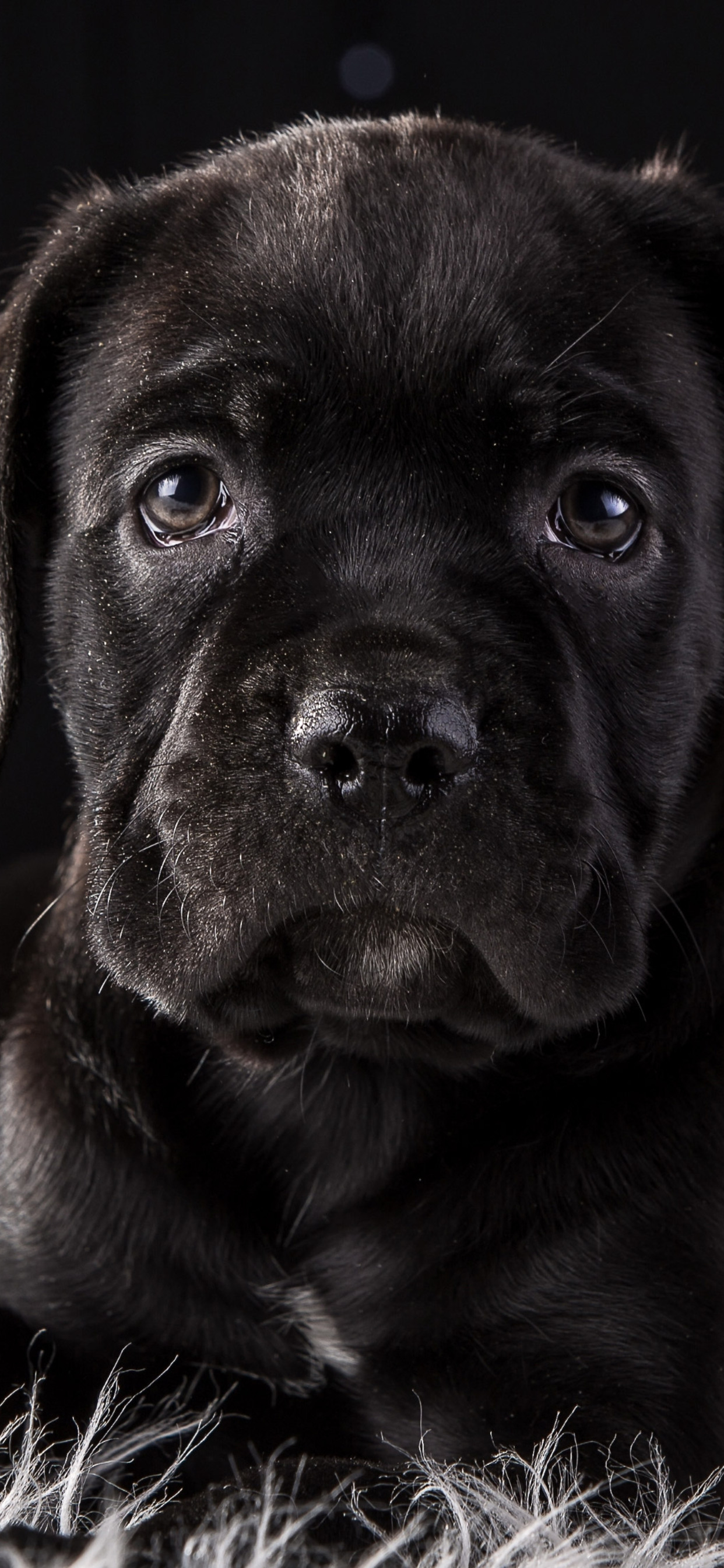 1242x2688 Cane Corso Dog Puppy 4k Hd Iphone Xs Max Hd 4k Wallpapers Images Backgrounds Photos And Pictures