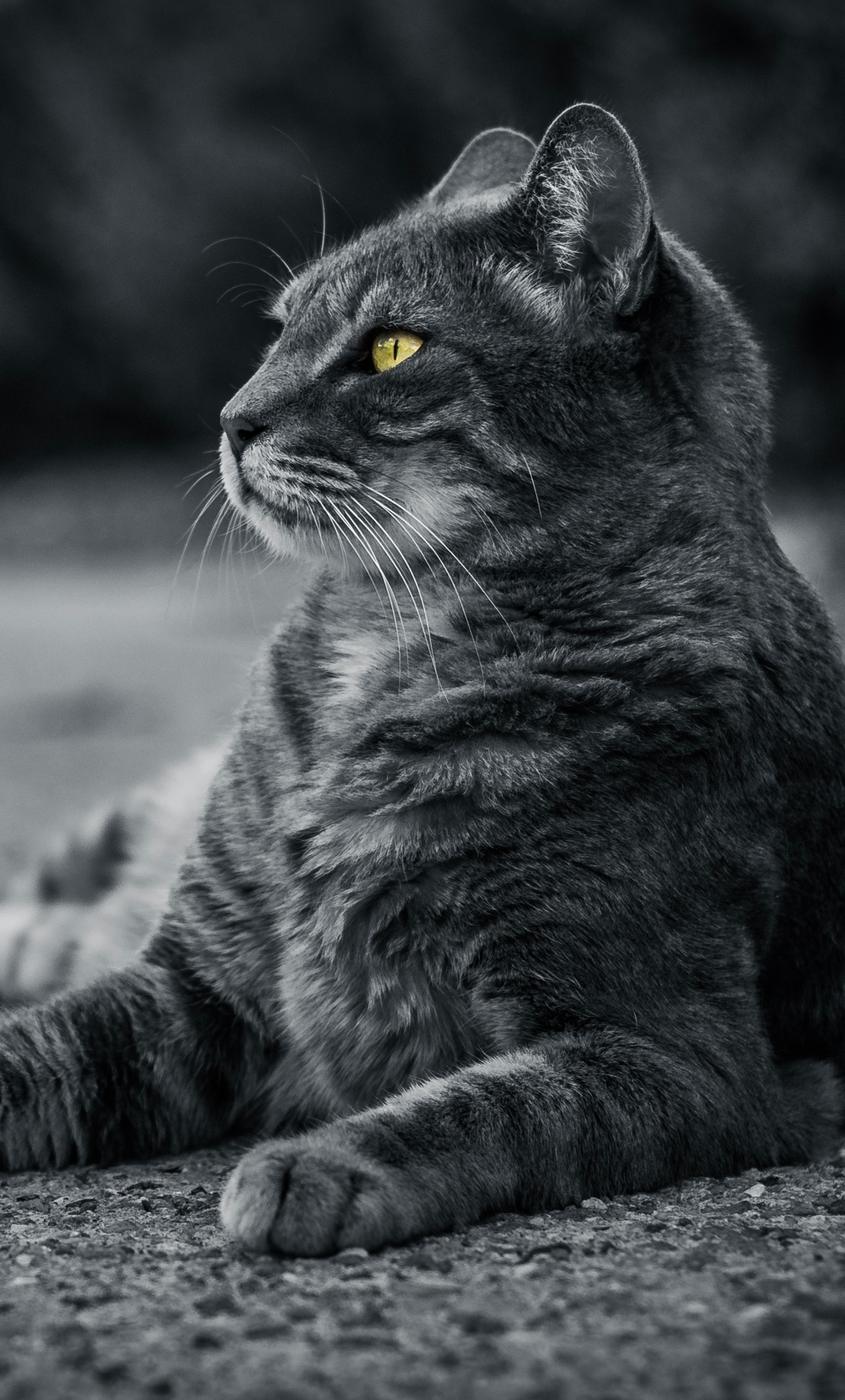 1280x2120 Cat Monochrome 4k Iphone 6 Hd 4k Wallpapers Images Backgrounds Photos And Pictures
