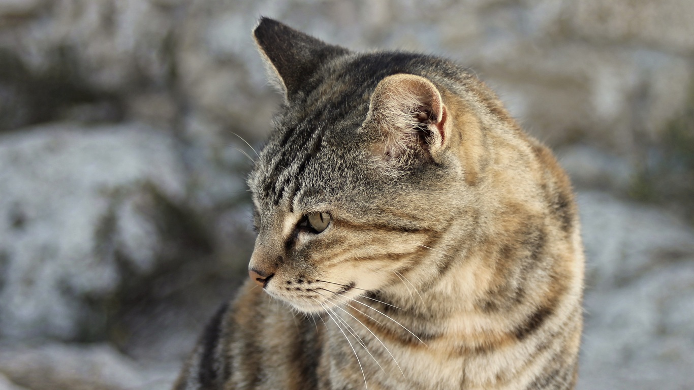 1366x768 Cat Portrait Close View 4k 1366x768 Resolution Hd 4k Wallpapers Images Backgrounds Photos And Pictures