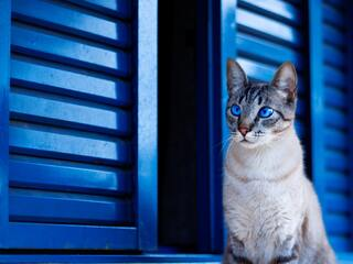 cat-with-blue-eyes-i3.jpg