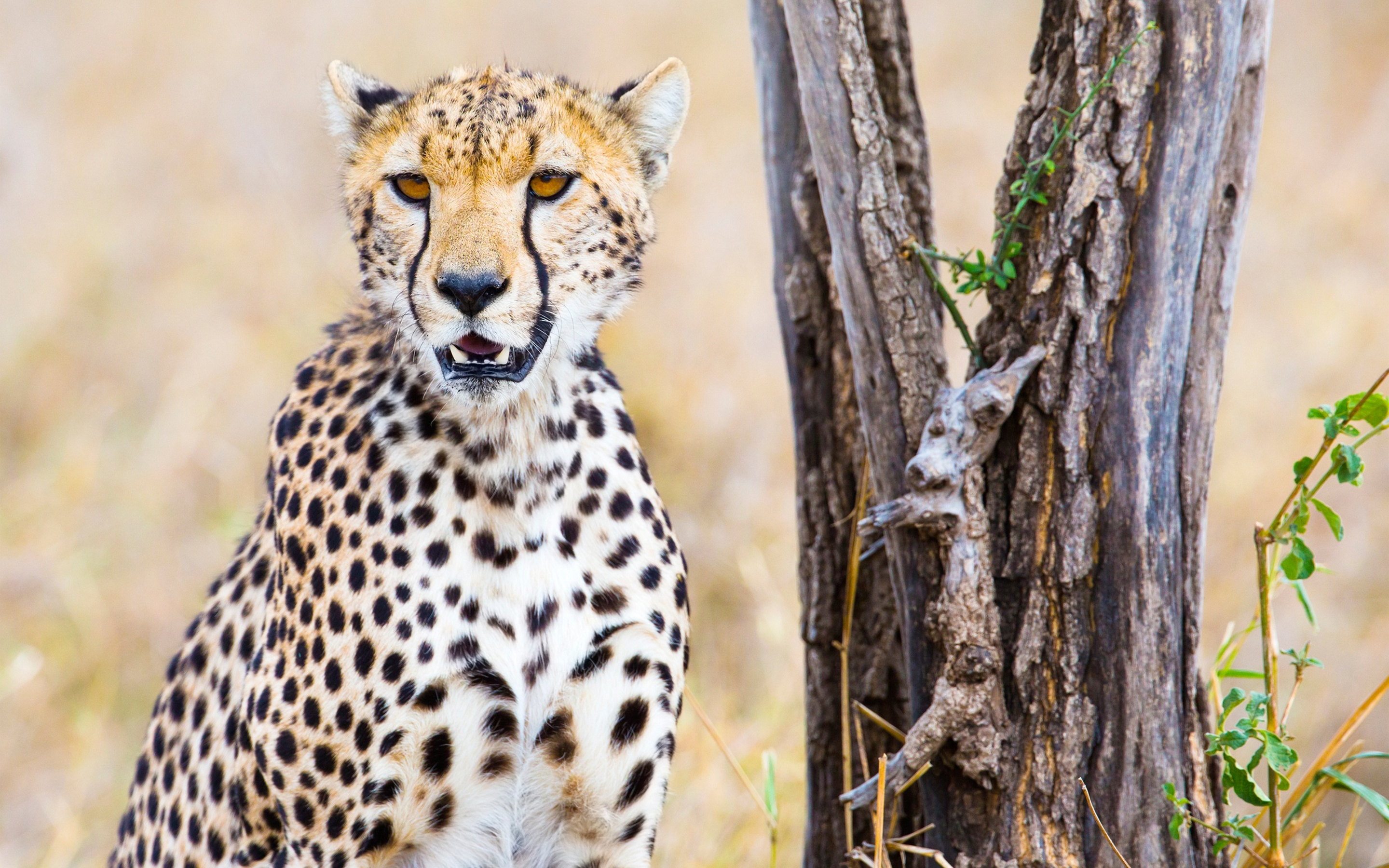 2880x1800 Cheetah Macbook Pro Retina Hd 4k Wallpapers Images
