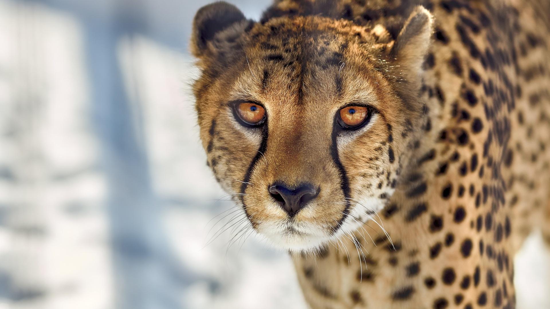 Wallpaper Cheetah Pair Hd Animals 6057: 1920x1080 Cheetah Close Up Laptop Full HD 1080P HD 4k