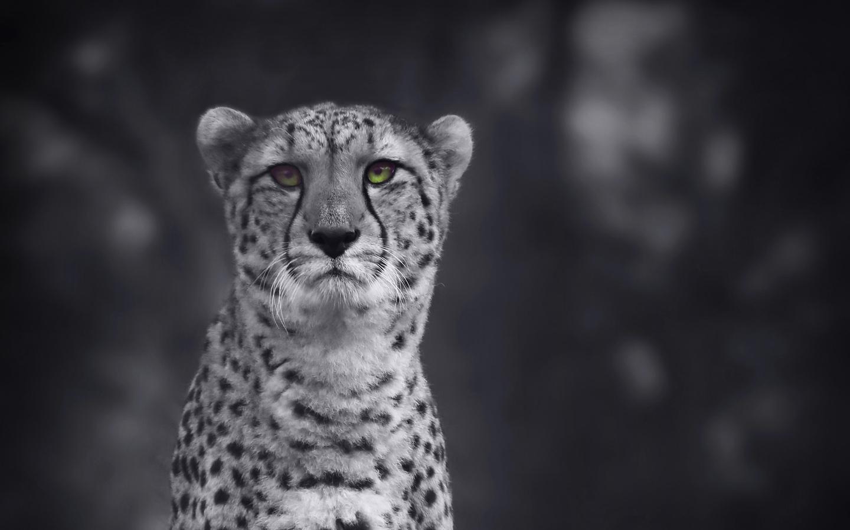 cheetah-monochrome-4k-th.jpg