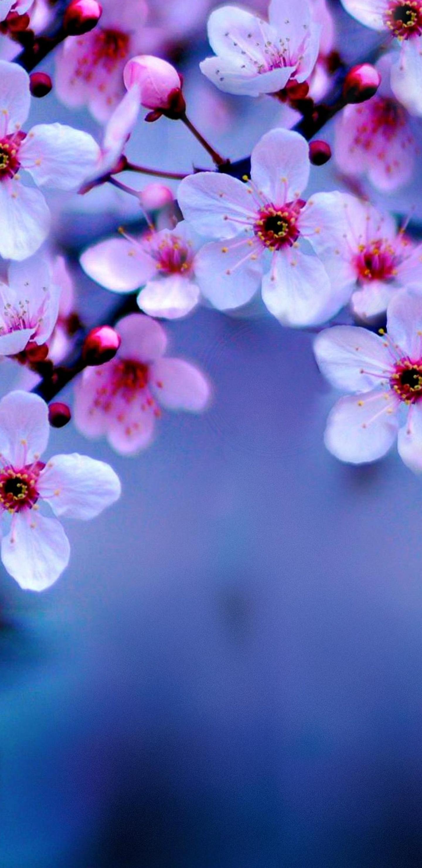 1440x2960 Cherry Blossom 4k Samsung Galaxy Note 9,8, S9,S8 ...