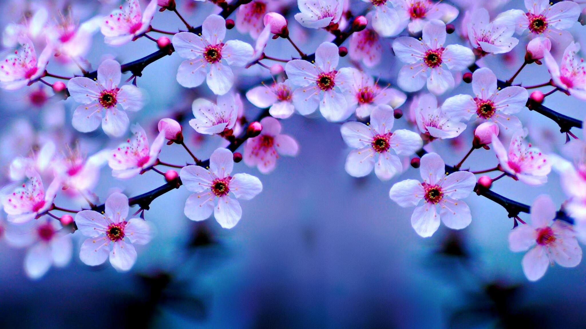 2048x1152 Cherry Blossom 4k 2048x1152 Resolution Hd 4k Wallpapers