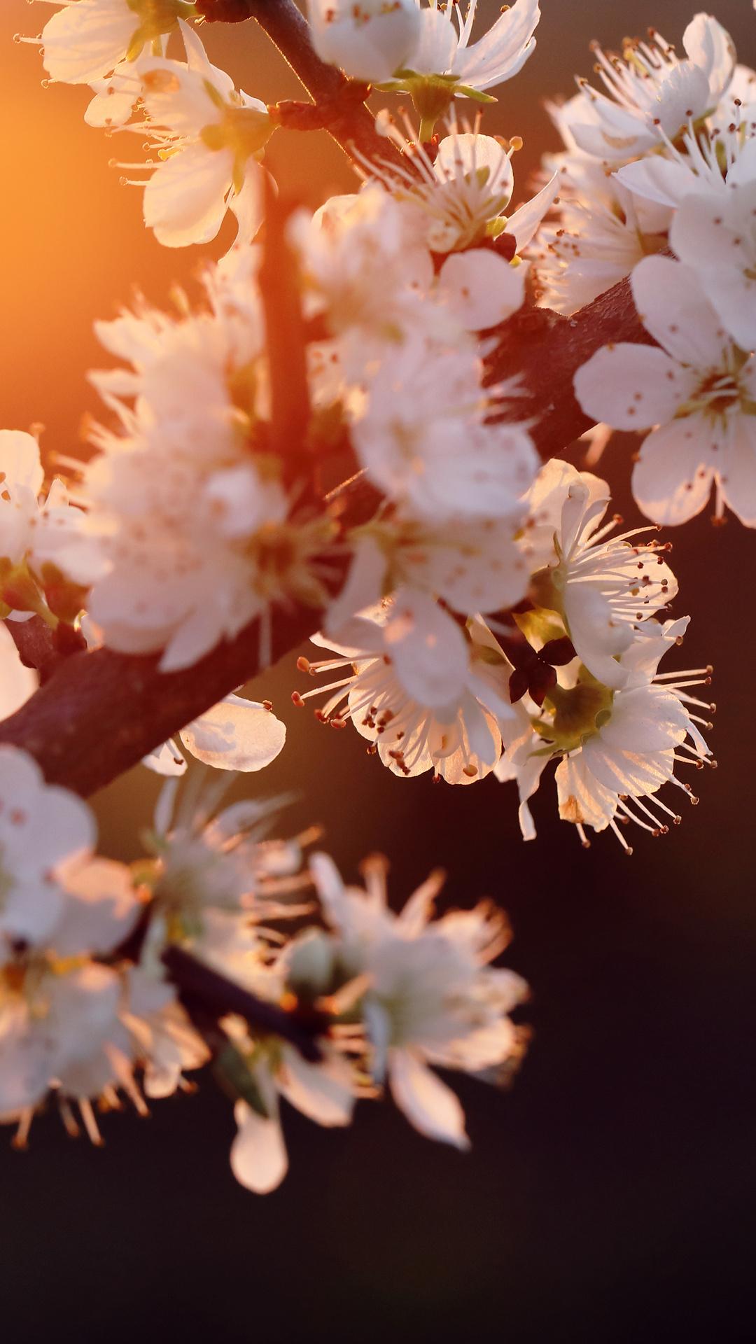 cherry-blossom-5k-ko.jpg