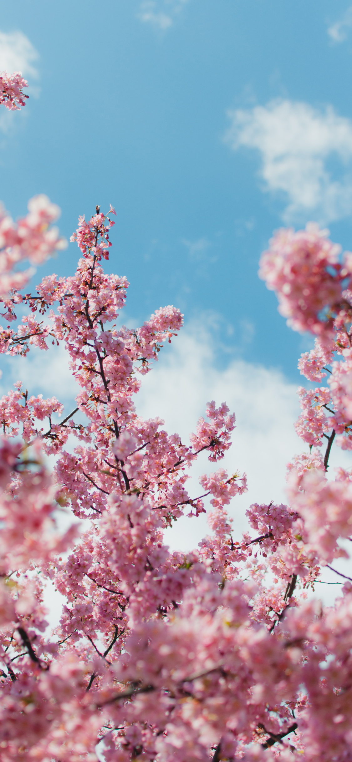 1125x2436 Cherry Blossom Plant 4k Iphone Xs Iphone 10 Iphone