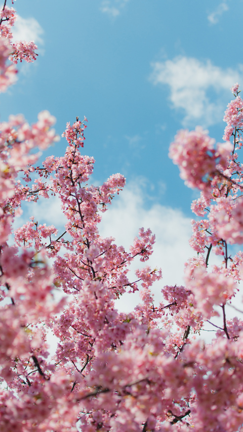 cherry-blossom-plant-4k-fc.jpg