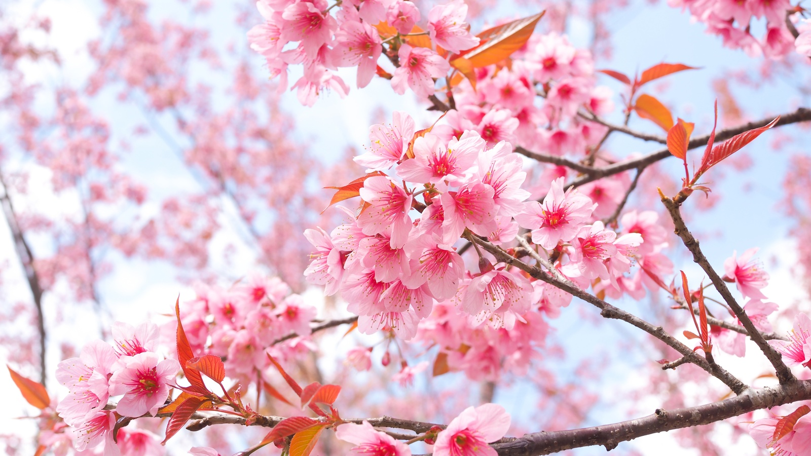 cherry-blossom-tree-branches-4k-8n.jpg