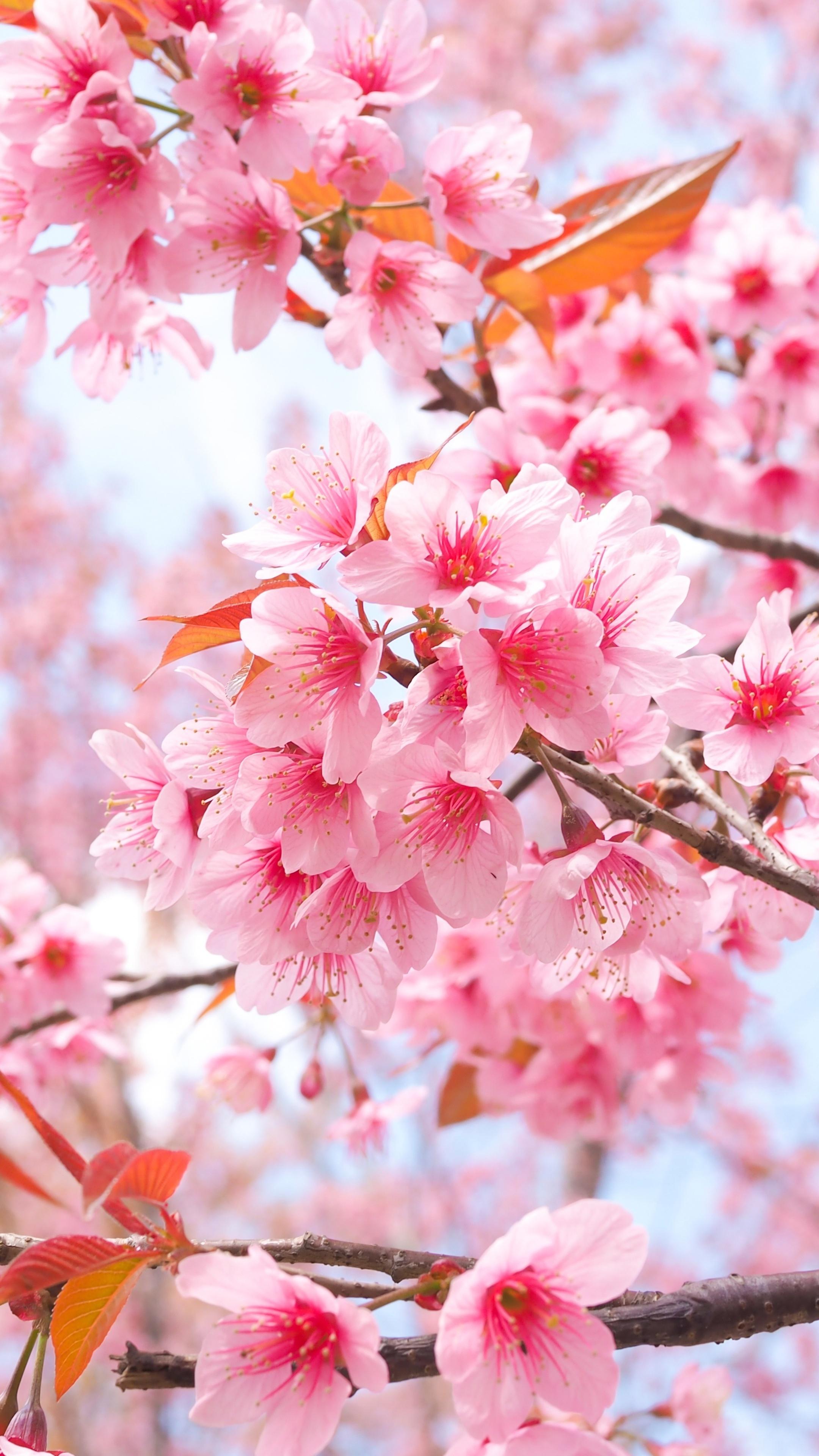 2160x3840 Cherry Blossom Tree Branches 4k Sony Xperia X,XZ ...