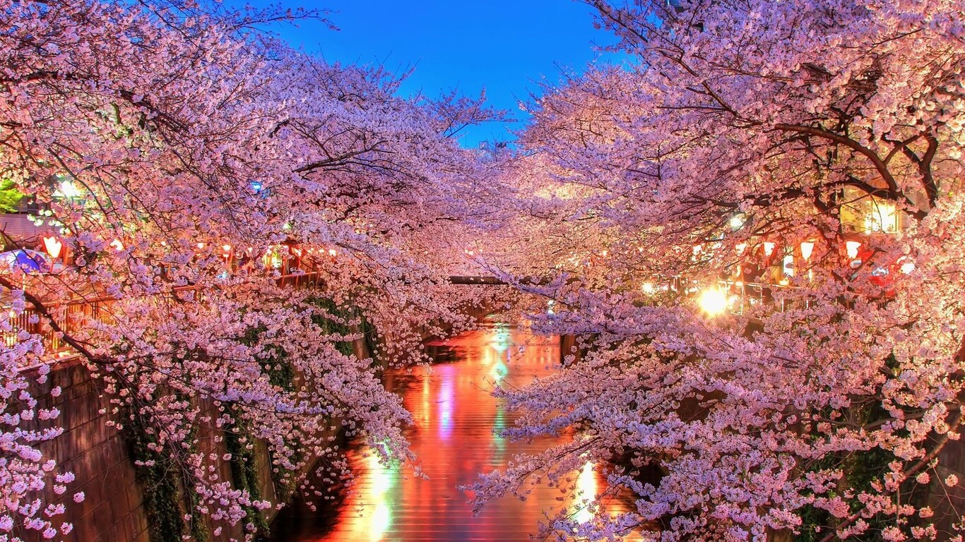 Beautiful Wallpaper High Resolution Cherry Blossom - cherry-blossom-trees-wide-1366x768  You Should Have_378574.jpg