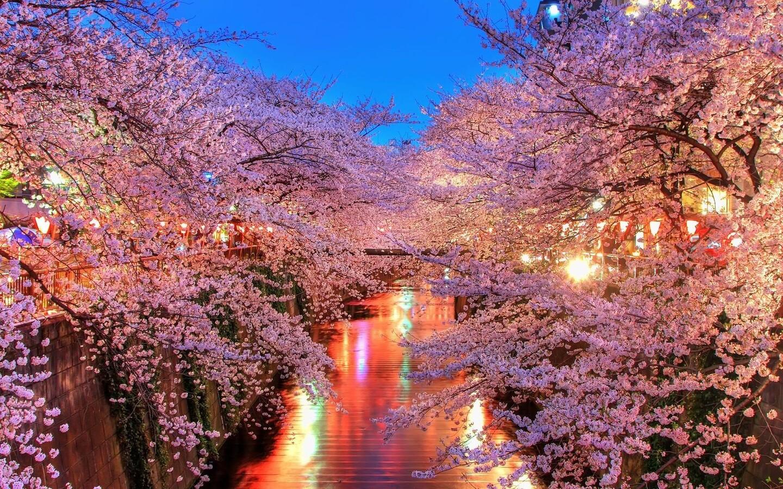 1440x900 Cherry Blossom Trees 1440x900 Resolution Hd 4k Wallpapers