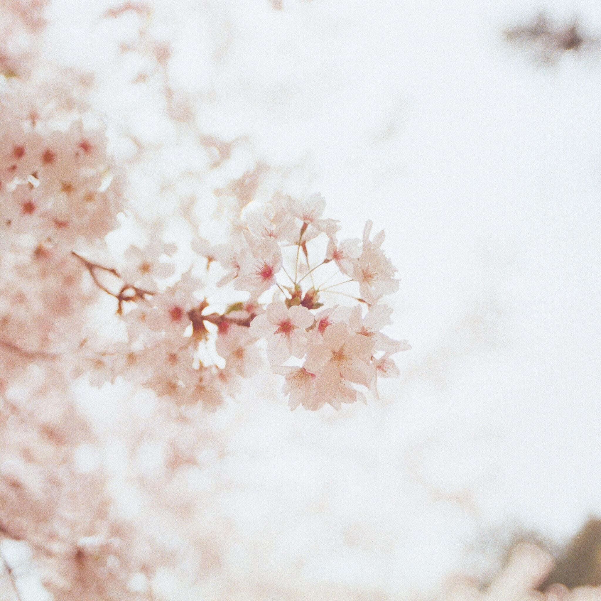 cherry-blossoms-flowers-2e.jpg