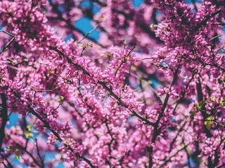 cherry-flowers-pink-do.jpg