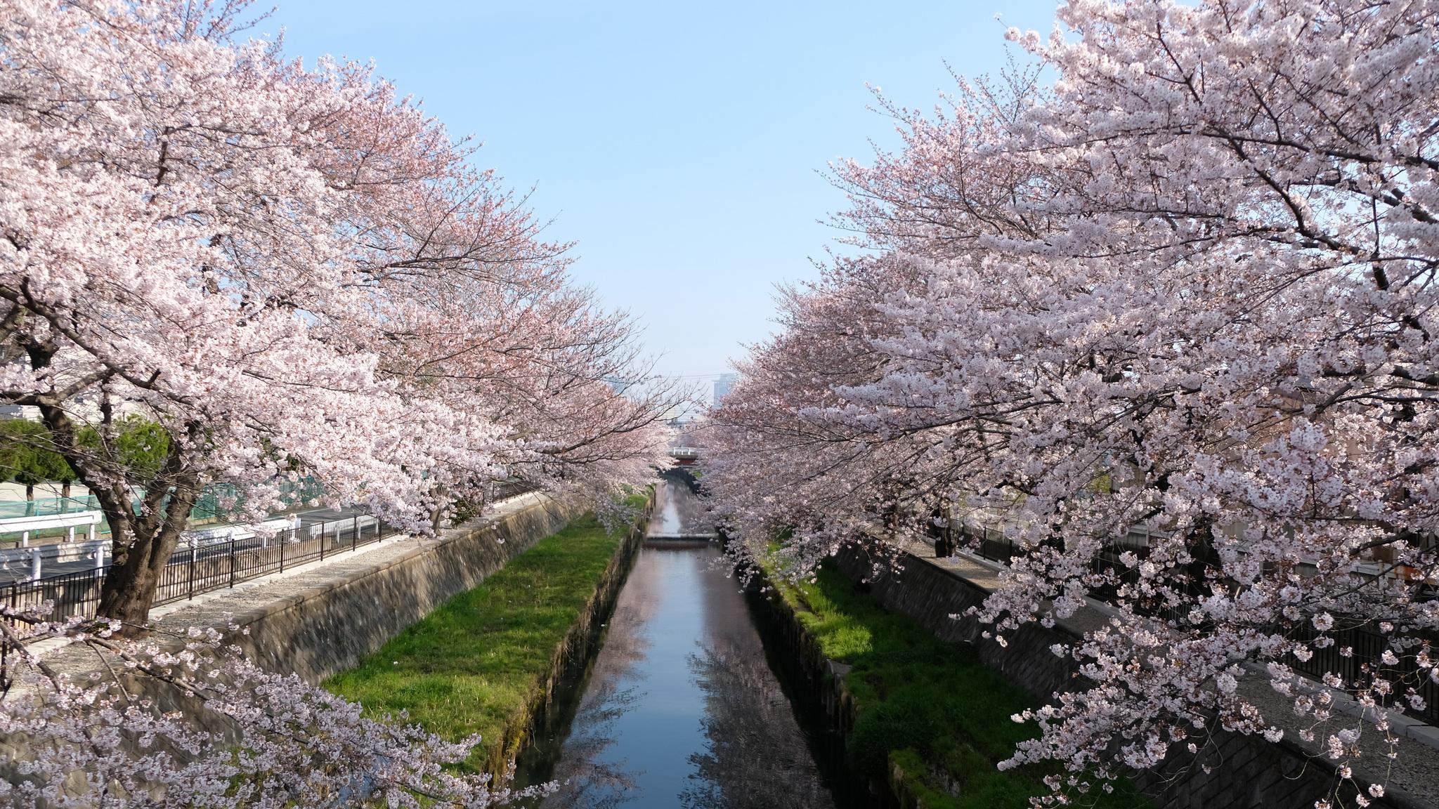 cherry-trees-seasonal-5k-9s.jpg