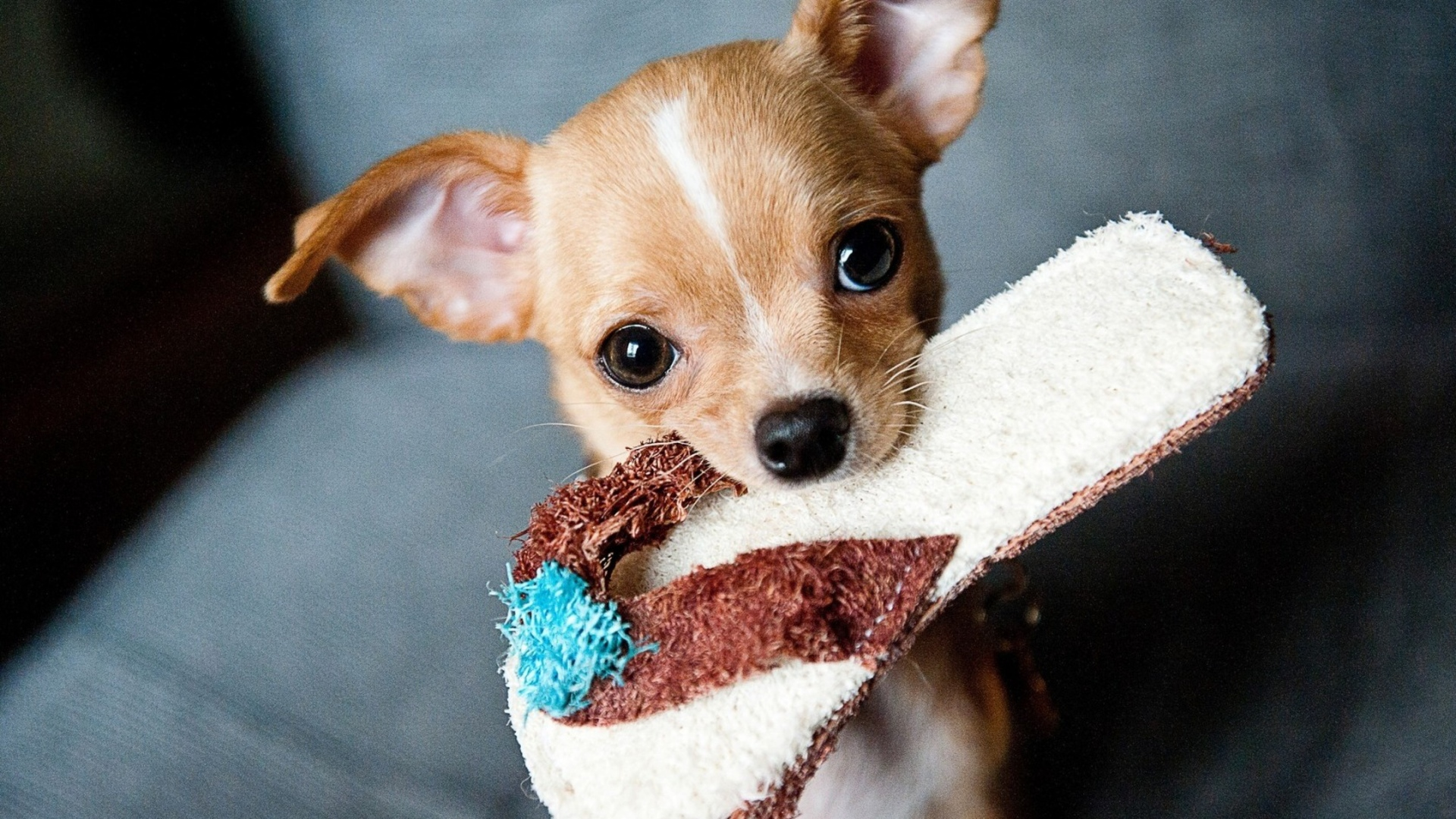 chihuahua-puppies.jpg