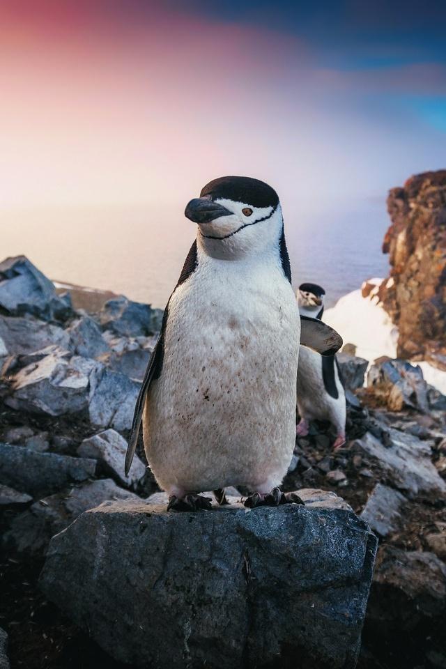 chinstrap-penguin-xn.jpg