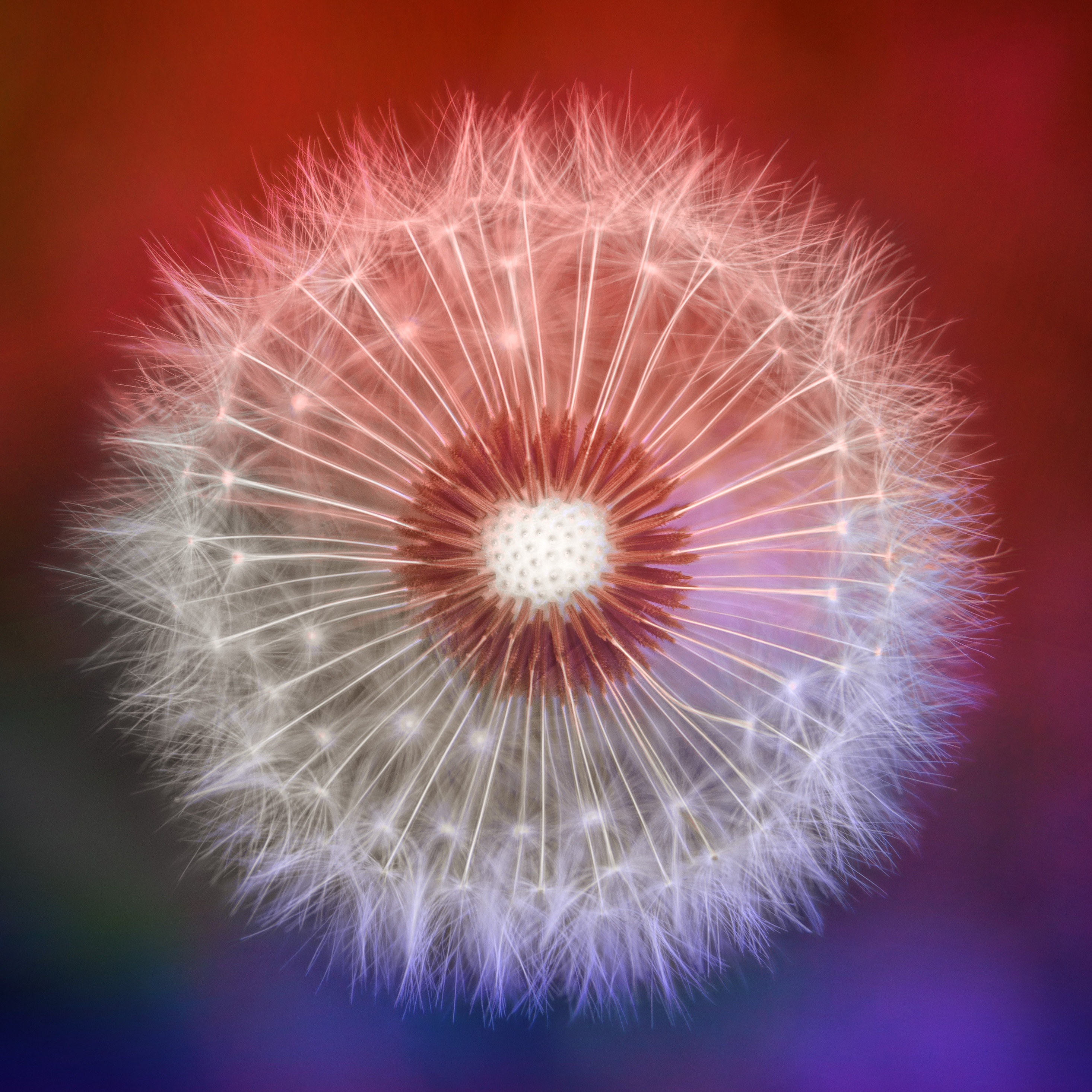 close-up-dandelions-l9.jpg