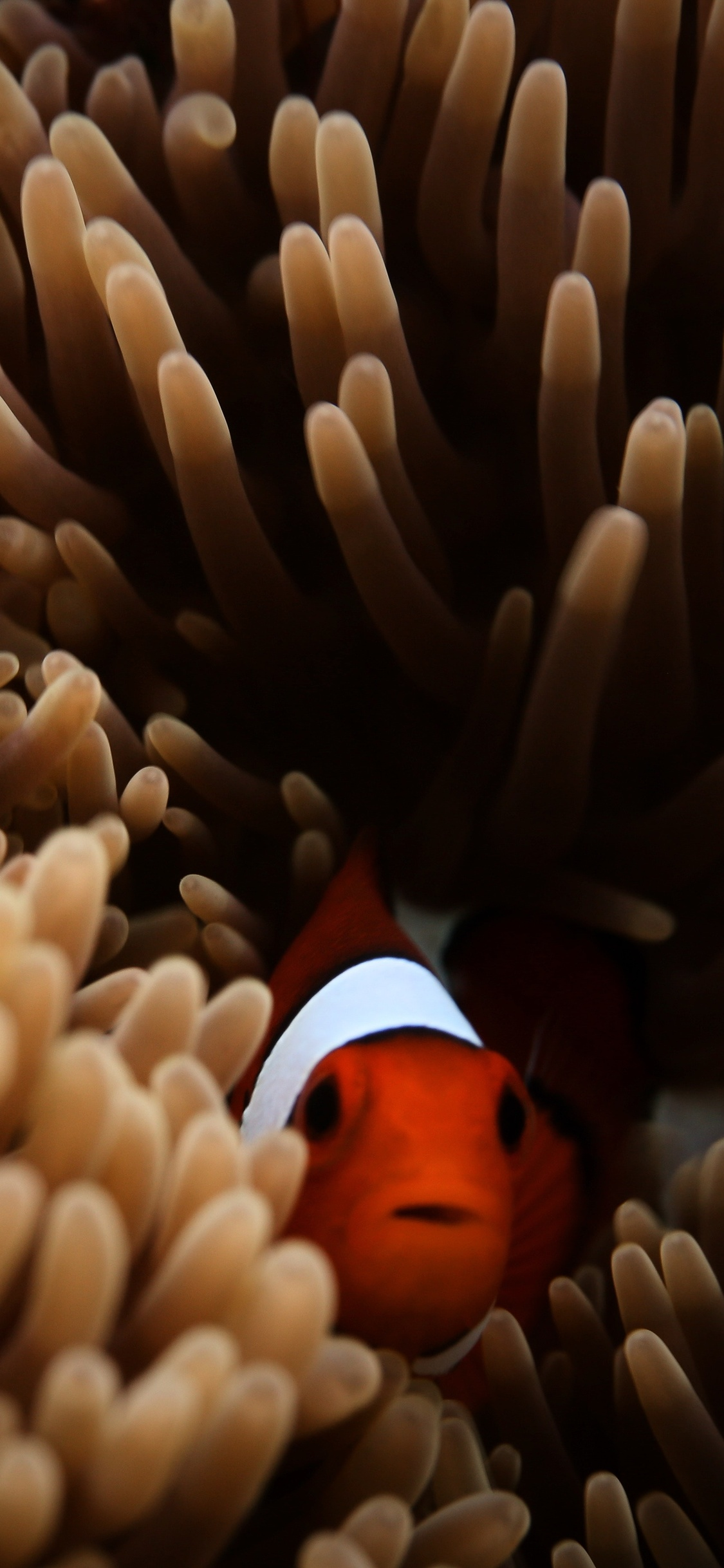 1125x2436 Clownfish Sea 5k Iphone Xs Iphone 10 Iphone X Hd
