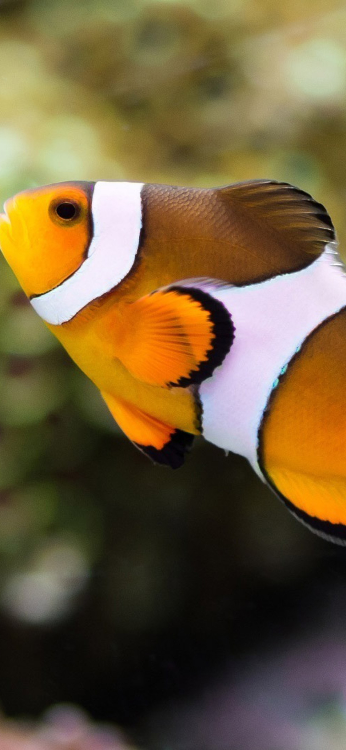 1125x2436 Clownfish Iphone Xs Iphone 10 Iphone X Hd 4k