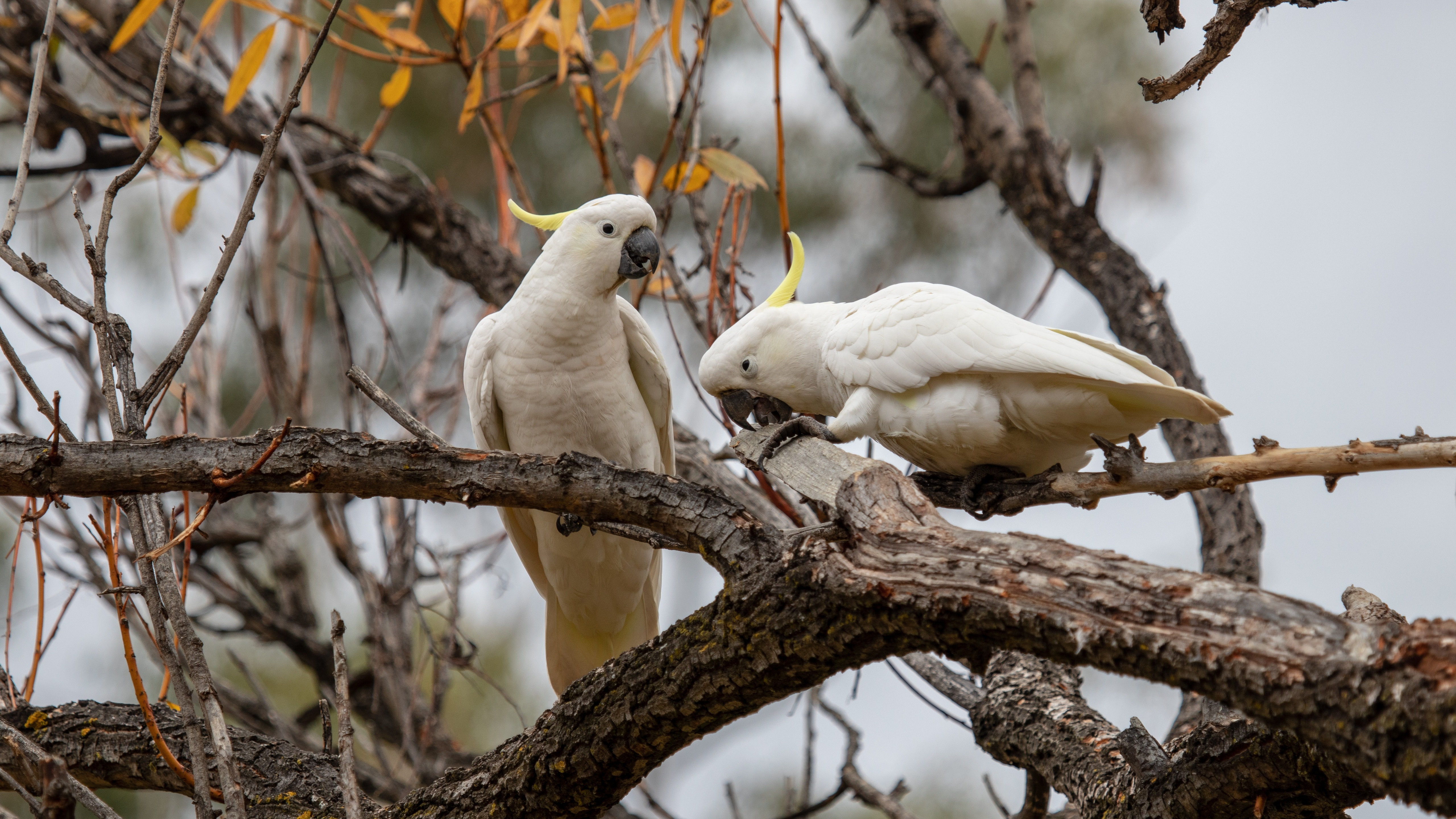 cockatoo-parrots-5k-1v.jpg