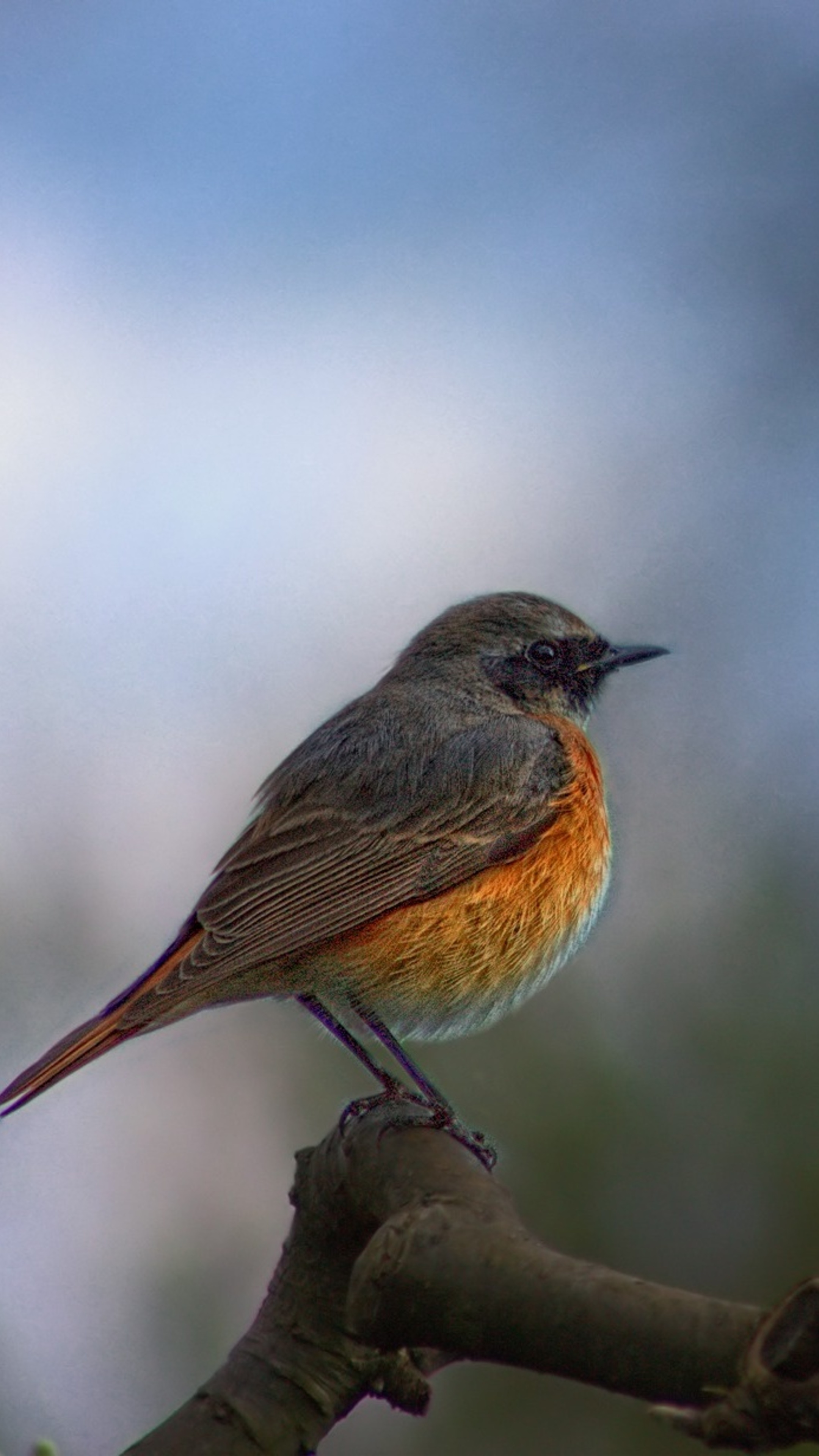 common-redstart-az.jpg