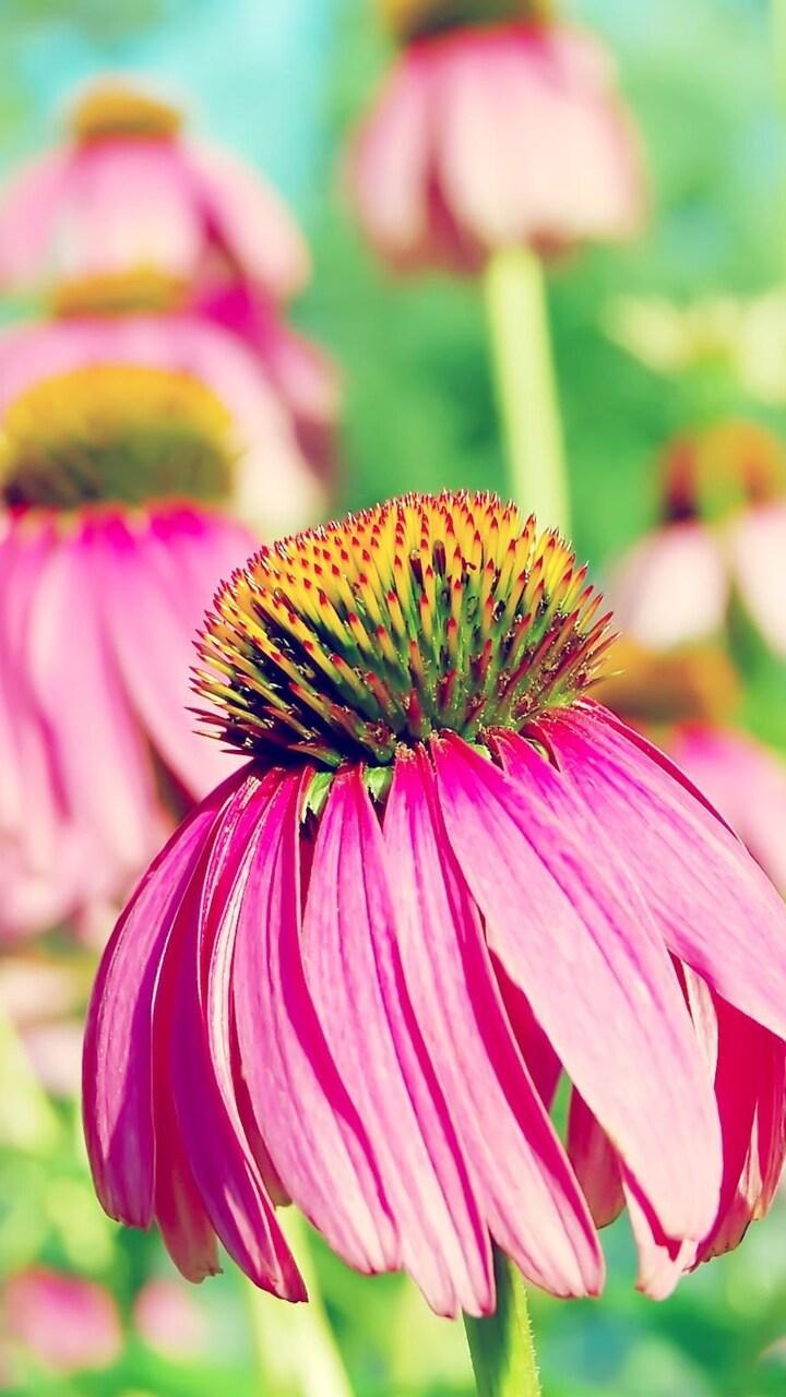 coneflower-purple.jpg