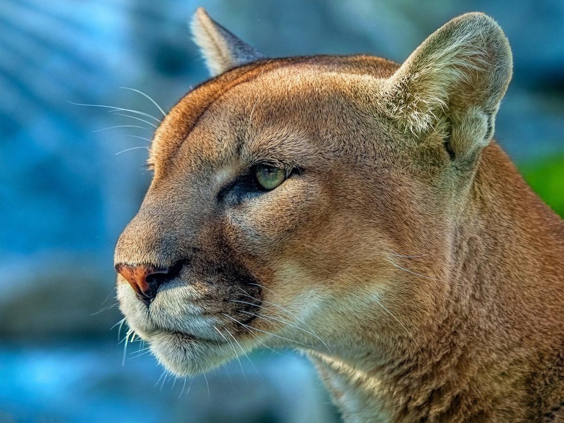 cougar-4k-mn.jpg
