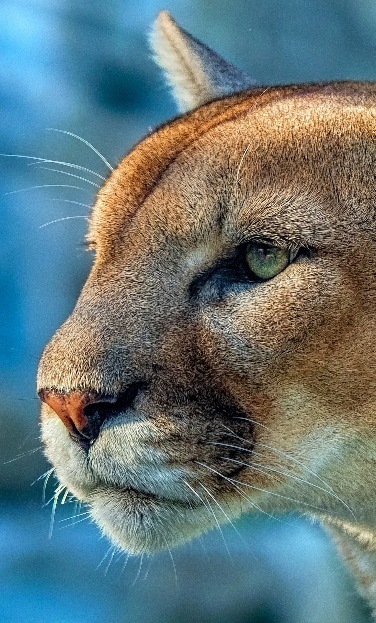 1280x2120 cougar 4k iphone 6+ hd 4k wallpapers, images, backgrounds
